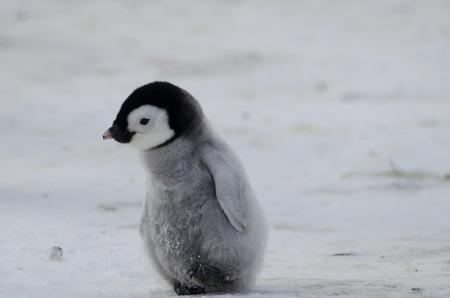 lindo: Pingüino solitario del polluelo Foto de archivo