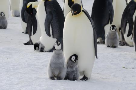 Emperor Penguin Parent and Chicks Stockfoto