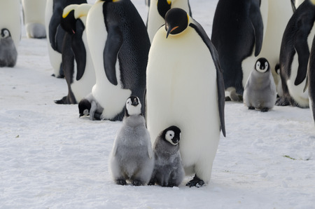 Emperor Penguin Parent and Chicks Archivio Fotografico
