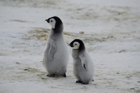 large and small emperor penguin chicks