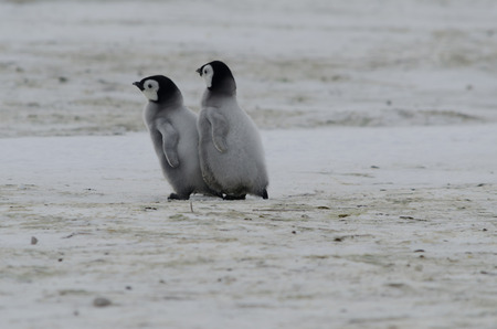 Emperor penguin chicks bumping into each other