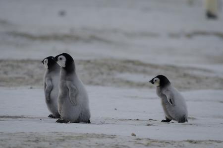 emperor: three emperor penguin chicks running Stock Photo