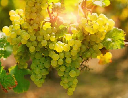 chardonnay: Sunny bunches of ripe Chardonnay grape on vineyard Stock Photo