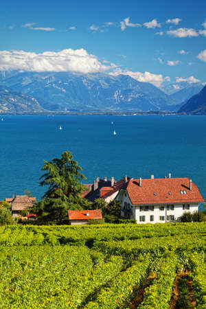 non cultivated: Swiss vineyards in Lavaux area
