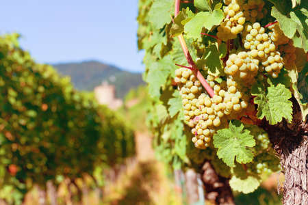 Sunny bunches of white wine grape on vineyard in Alsace, France