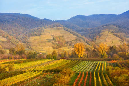 Autumn vineyards on Wachau valley, Austria