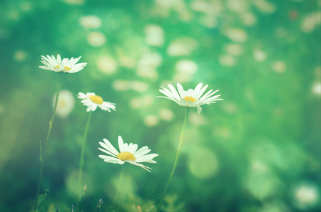 environments: Meadow daisies flowers close-up in sunlight. Vintage effect with soft focus.