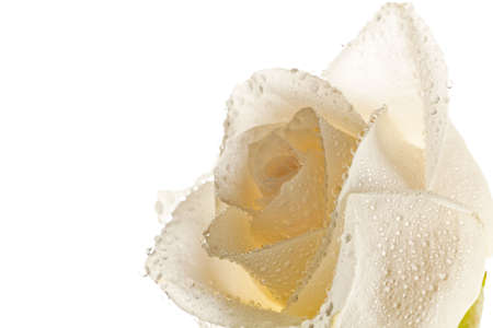 White roses with dew drops on the skylight on a white background photo