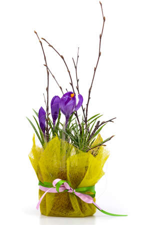 Bouquet of spring crocuses in a decorative box on a white background. photo