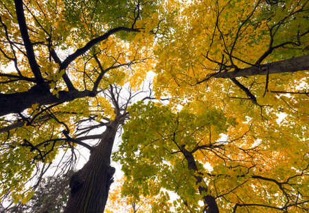 View from below at the crown of autumn trees in the park photo