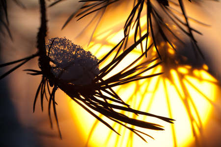 scaffolds: Pine needles covered with snow close-up against the setting sun Stock Photo
