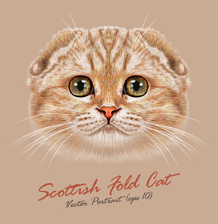 Vector Portrait of Scottish Fold Cat. Young cute cat peach colored cat with green eyes. Pedigreed cat. 일러스트