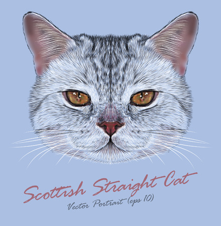 Vector Portrait of Scottish Straight Cat. Cute Tabby Domestic Cat with orange eyes. Vettoriali