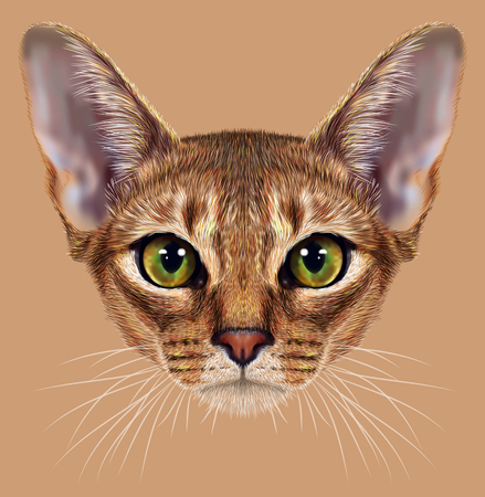 short haired: Illustrative Portrait of Abyssinian Cat. Cute breed of domestic short haired cat with a distinctive rubby ticked tabby coat and with green eyes