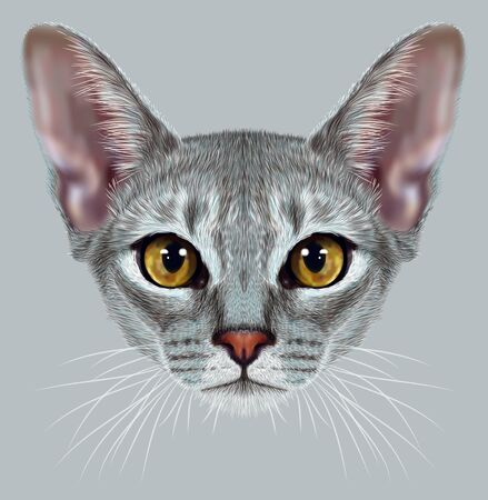 short haired: Illustrative Portrait of Abyssinian Cat. Cute breed of domestic short haired cat with a distinctive Blue ticked tabby coat and with Yellow eyes