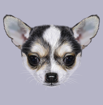 chihuahua puppy: Illustrative Portrait of Chihuahua Puppy. Cute bi-color little dog black white.