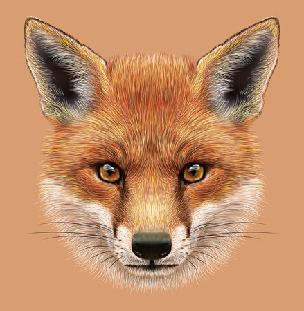 fox fur: Illustrative Portrait of a Red Fox. The cute fluffy face of forest Fox.