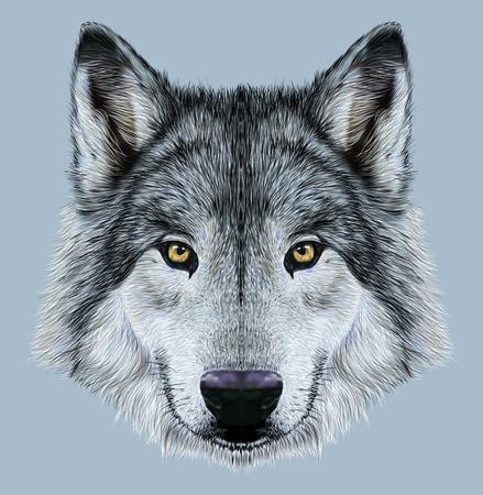 lobo: Ilustración Retrato de un lobo. Invierno lobo color de piel en el fondo azul.