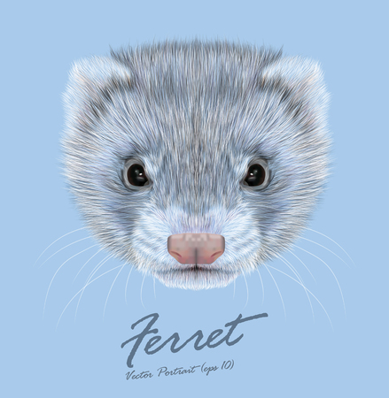 Vector Illustrative portrait of Ferret. Cute face of grey coloration of Ferret. 矢量图像
