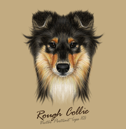 Vector Illustrative Portrait of Collie Dog. Cute Face of Mahogany Sable Rough Collie or Shetland Sheepdog Sheltie. 일러스트