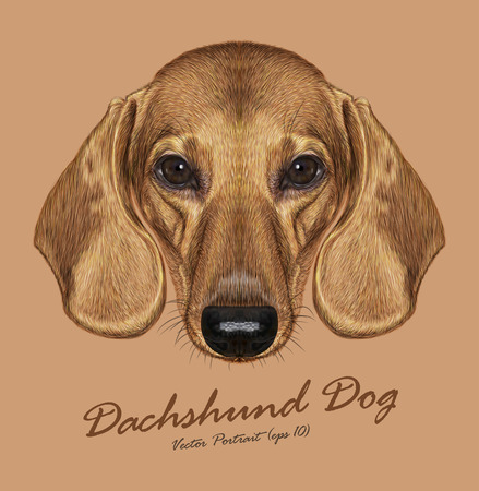 short haired: Vector Illustrated Portrait of Dachshund Dog. Cute short haired red dachshund.