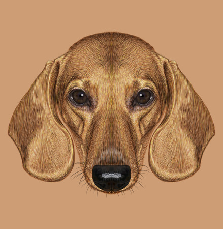 short haired: Illustrated Portrait of Dachshund Dog. Cute short haired red dachshund.