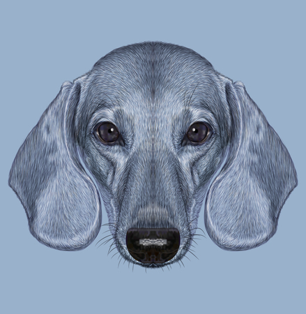 short haired: Illustrated Portrait of Dachshund Dog. Cute short haired grey dachshund Izabella.