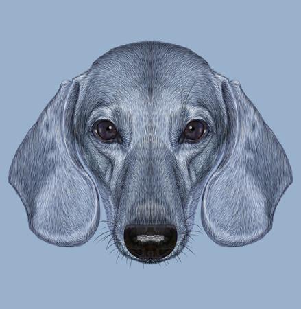 isabella: Illustrated Portrait of Dachshund Dog. Cute short haired grey dachshund Izabella.