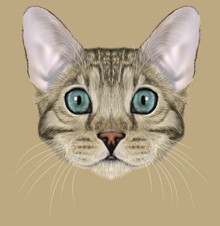 Cute face of Grey-spotted Domestic cat with blue eyes Banque d'images