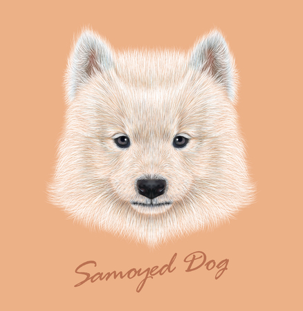 siberian samoyed: Cute face of Samoyed Puppy on peach color background