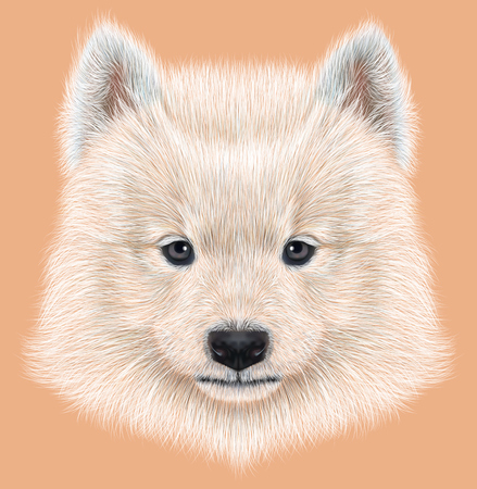 nomad: Cute face of Samoyed Puppy on peach color background