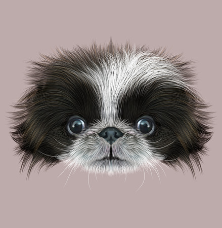 pekingese: Cute face of bicolor Domestic Puppy on grey background