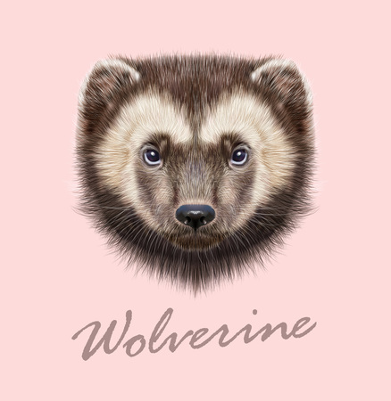 furry animals: Vector Illustrated Portrait of Wolverine on pink background. Illustration