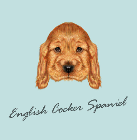 dog ear: Vector illustrated portrait of red English Cocker Spaniel dog on blue background
