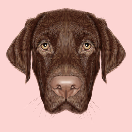 labrador puppy: Illustrated portrait of Chocolate Labrador on pink background. Stock Photo