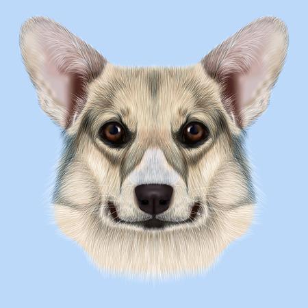 pembroke welsh corgi: Cute grey dog face on blue background Stock Photo