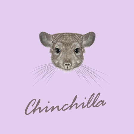 Cute fluffy face of Chinchilla on pink background. Çizim