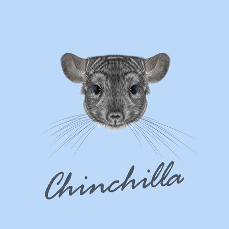 fluffy: Cute fluffy face of Chinchilla on blue background.