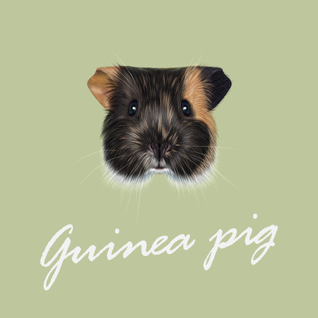 Cute fluffy tricolor face of domestic guinea pig on green background