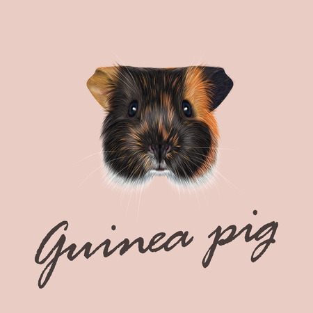 guinea pig: Cute fluffy tricolor face of domestic guinea pig on pink background
