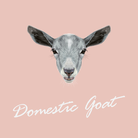 goat cheese: Cute face of grey Goat on pink background