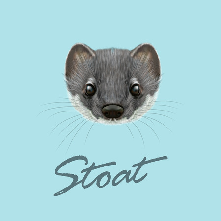 marten: Cute face of grey stoat on blue background.