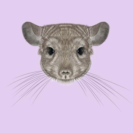 lanigera: Cute fluffy face of Chinchilla on pink background. Stock Photo