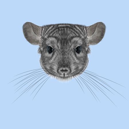 lanigera: Cute fluffy face of Chinchilla on blue background.