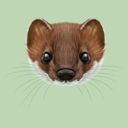marten: Cute face of red stoat on green background. Stock Photo