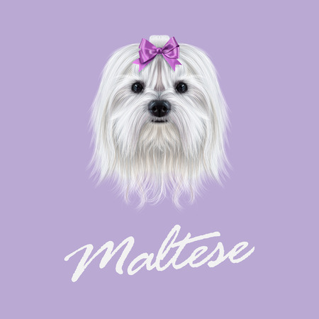 maltese dog: Cute white fluffy face of domestic dog on violet background.