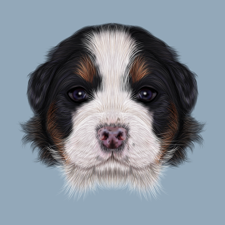 bernese: Cute fluffy face of tricolor domestic dog on blue background. Stock Photo