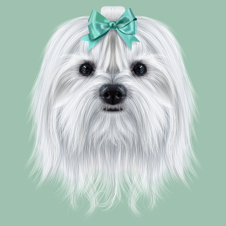 maltese dog: Cute white fluffy face of domestic dog on green background.