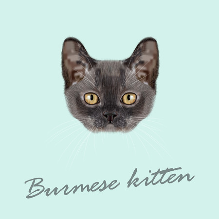 burmese: Vector Illustrated Portrait of Burmese kitten. Cute blue face of domestic cat on blue background. Illustration