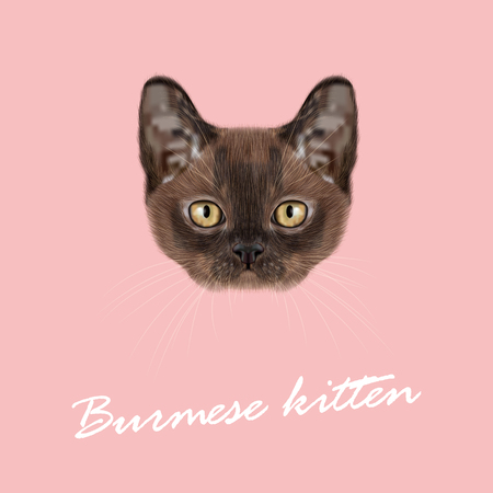 burmese: Vector Illustrated Portrait of Burmese kitten. Cute Sable face of domestic cat on pink background.